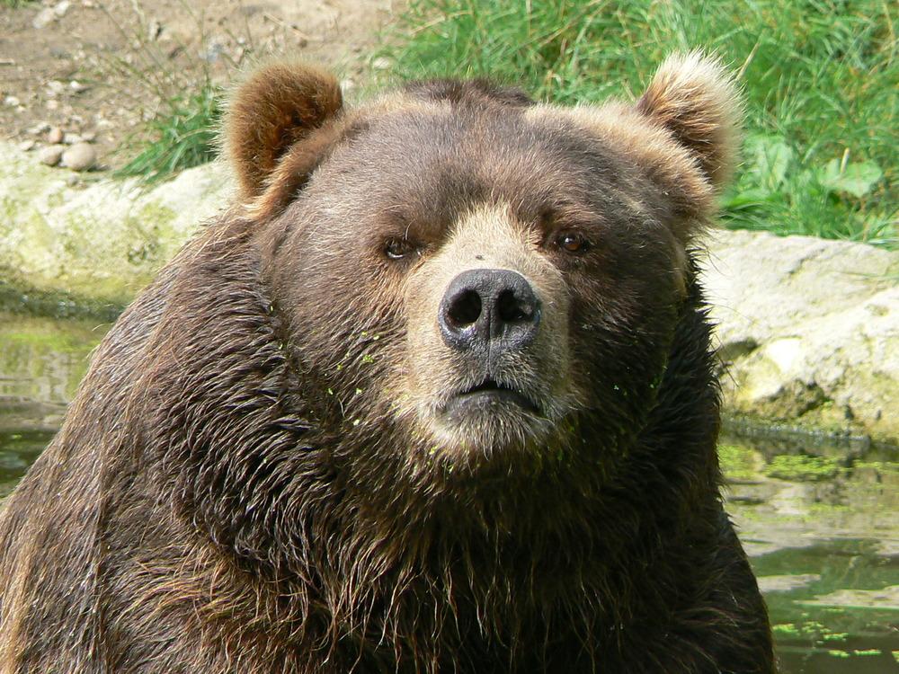 Male_kodiak_bear_face.JPG