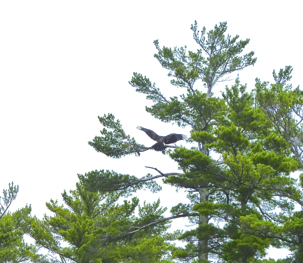 Eagles spotted on the islands around the waters of Bayfield, Wisconsin