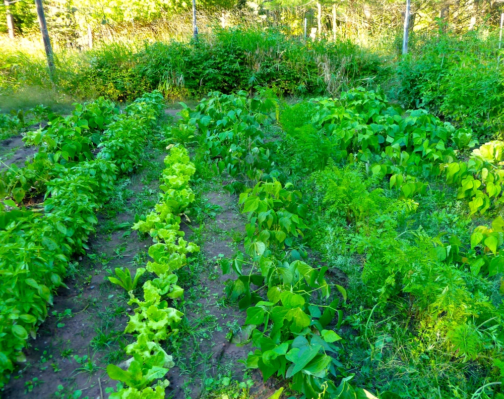 I dug up most of the Basil plants on the far left side of this photo.