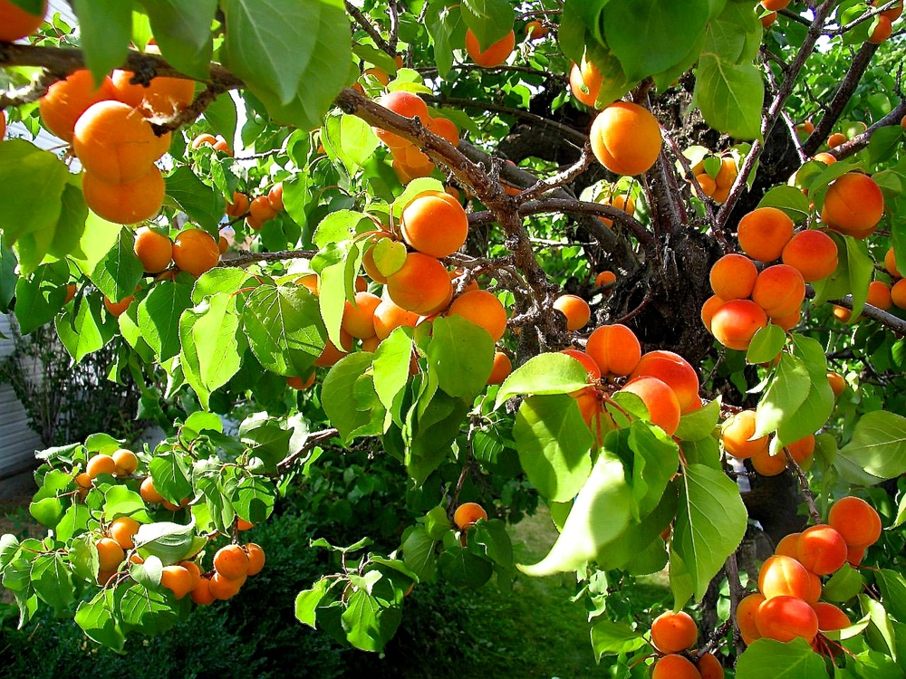 apricot-fruit.jpg