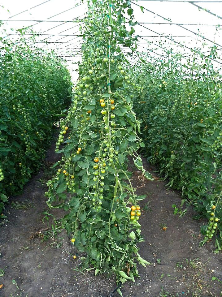 cherry tomatoes hoop house_LoonOrganics_photo.jpg.jpg