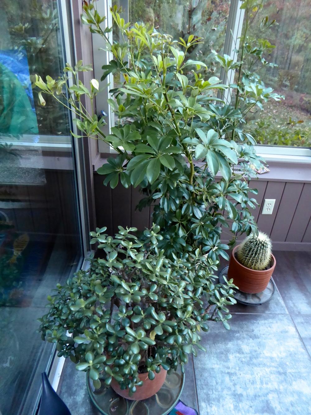 Schefflera plants re-potted indoors