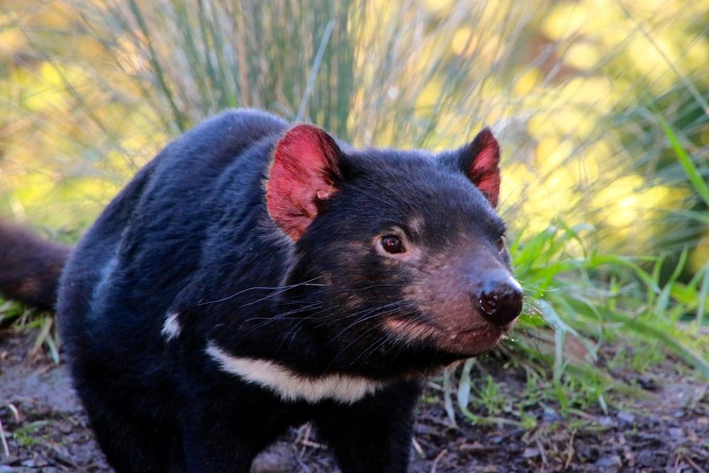 spiritedtable_tasmaniandevil_hobart_australia_travels_photo - 40.JPG