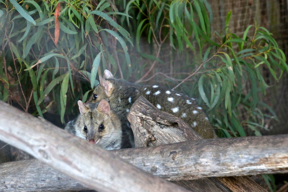 spiritedtable_tasmaniandevil_hobart_australia_travels_photo - 46.JPG