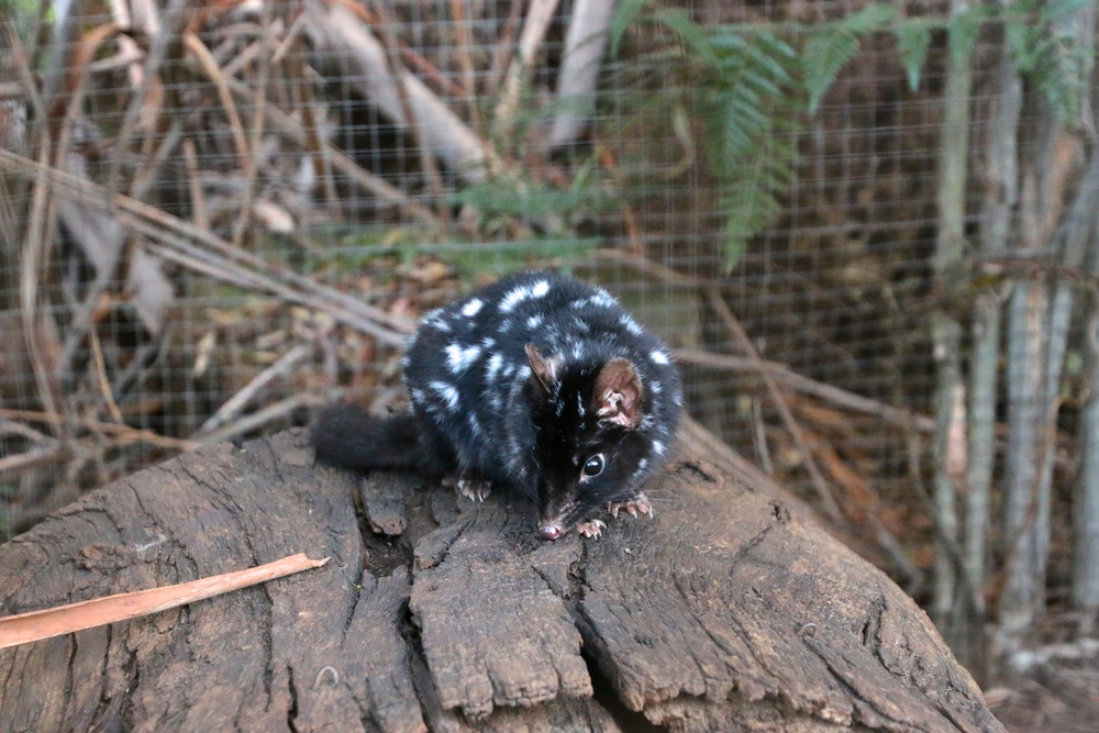 spiritedtable_tasmaniandevil_hobart_australia_travels_photo - 48.JPG