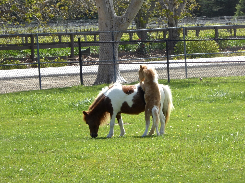 Spirited Table Quicksilver Miniature Horse Ranch Santa Ynez Solvang - 27.JPG