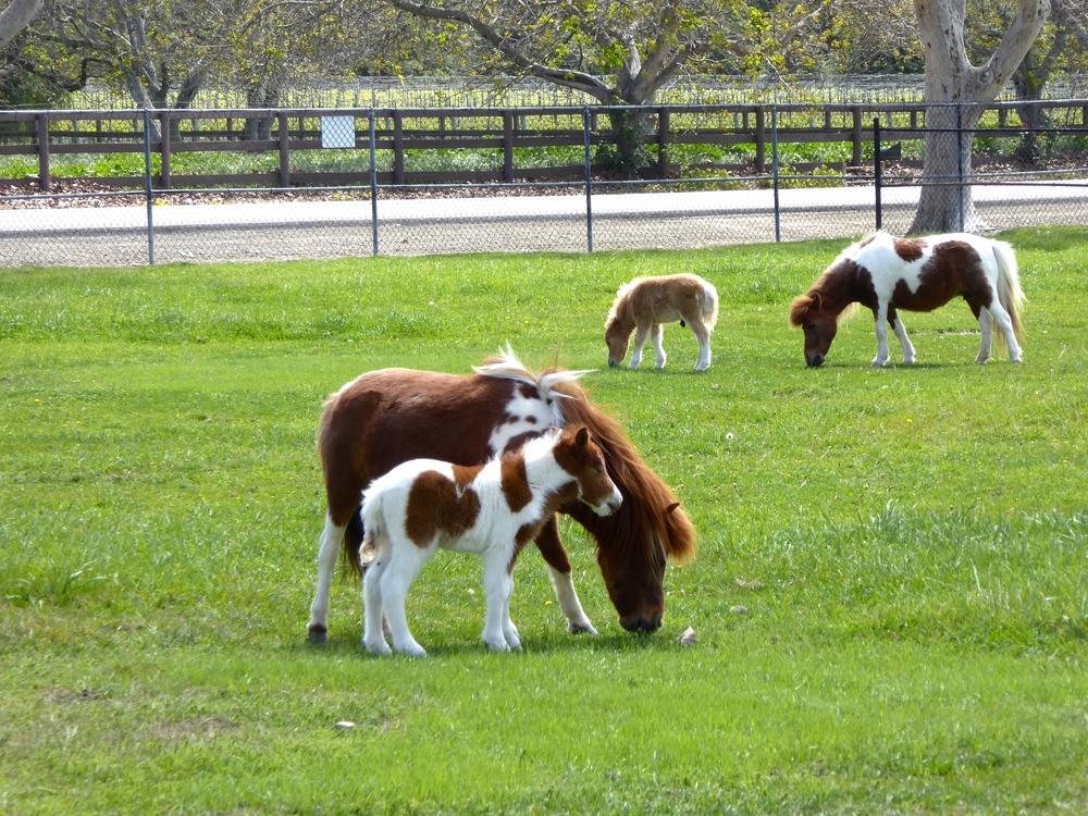 Spirited Table Quicksilver Miniature Horse Ranch Santa Ynez Solvang - 44.JPG