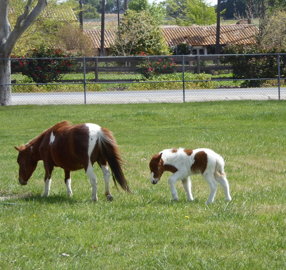 Spirited Table Quicksilver Miniature Horse Ranch Santa Ynez Solvang - 56.JPG