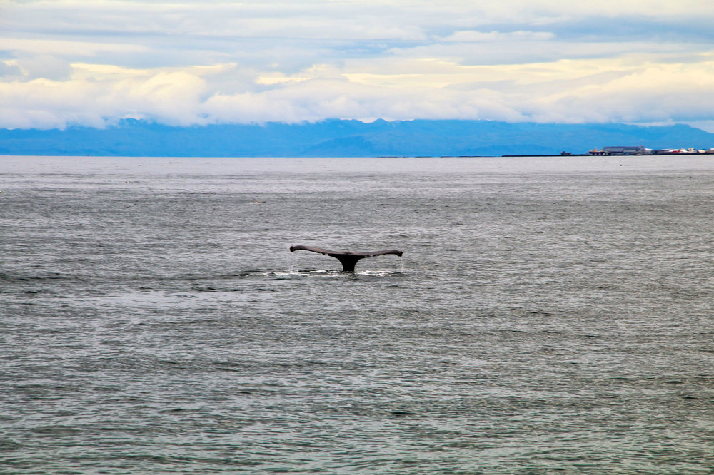Teri_Iceland_boatride_whales_puffinbirds_spiritedtable_photo.24.jpg