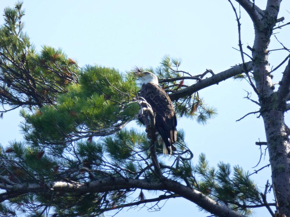 cindi_madelineIsland_LakeSuperior_eagle#1_spiritedtable_photo.1.jpg