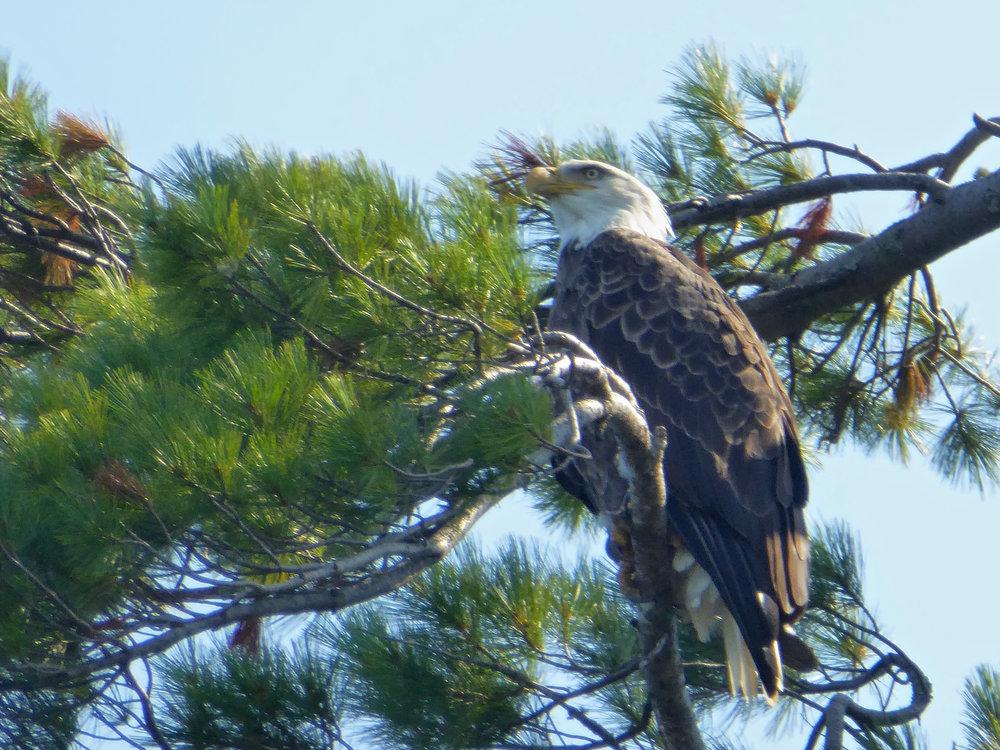 cindi_madelineIsland_LakeSuperior_eagle#2_spiritedtable_photo.1.jpg
