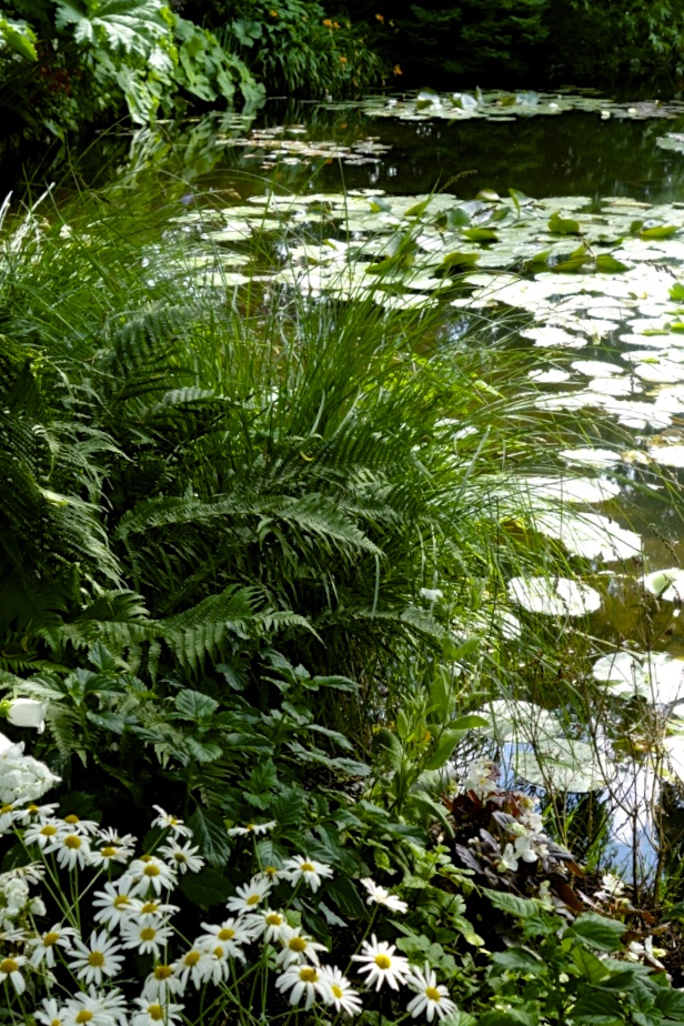 Daisies and Ferns along the edge of Monet's Pond   (photo courtesy of Lisa Michaux)