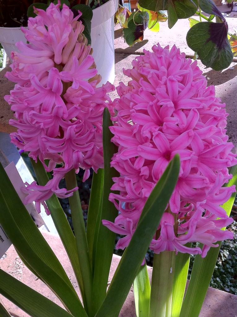 IMAGE  Hyacinth