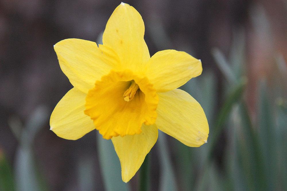 IMAGE  Daffodil