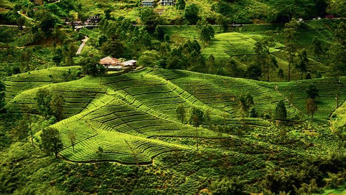 sri_lanka_tea_plantations.jpg