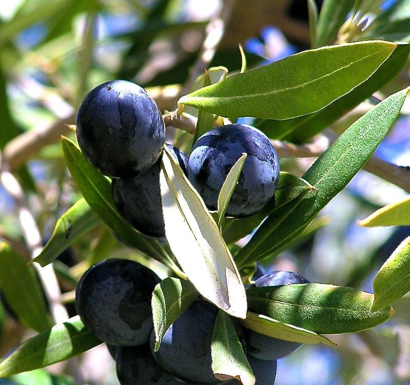 olives-tree.jpg