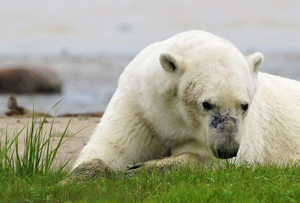 teri_arctic_canada_polarbeer_spiritedtable_photo26.jpg