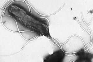Bakterien Helicobacter Pylori, som är källan till magcancer.