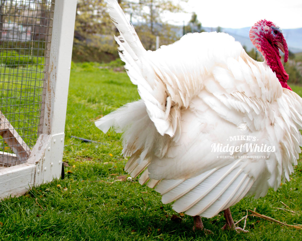 Midget-White-Turkey-Adult-Male-Jake.jpg