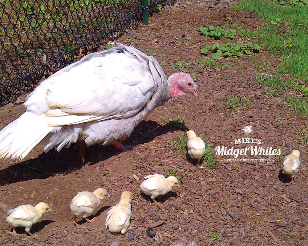 Midget-White-Turkey-Hen-and-Chicks.jpg