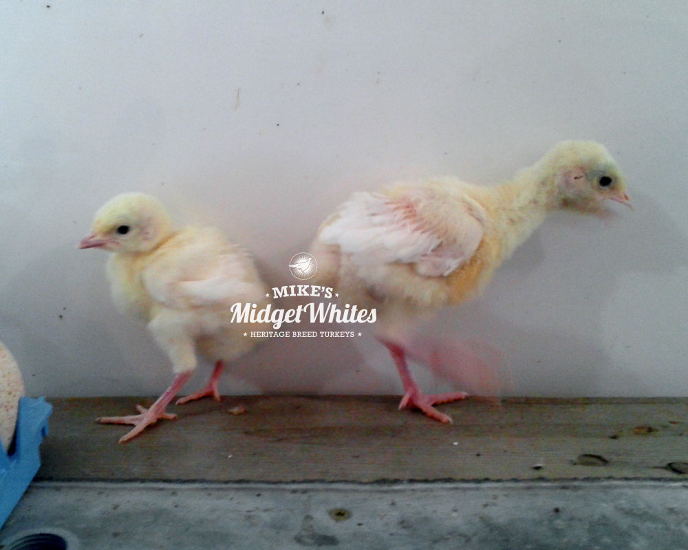 Midget-White-Turkey-Poults-Evaluation.jpg