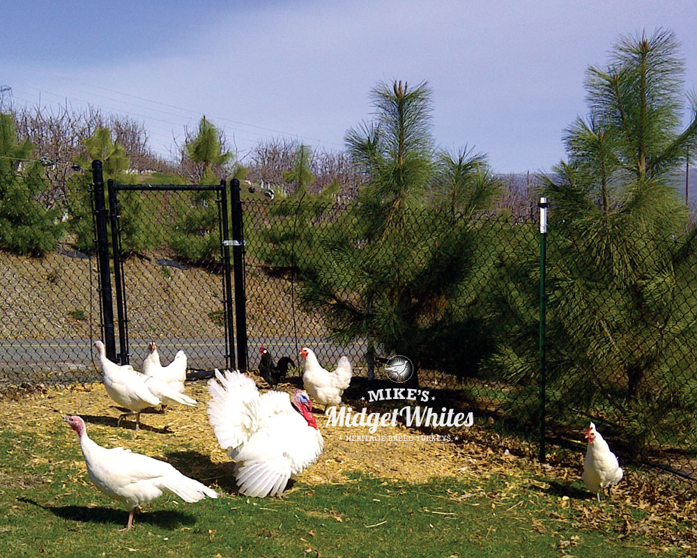 Midget-White-Turkeys-and-Chickens.jpg