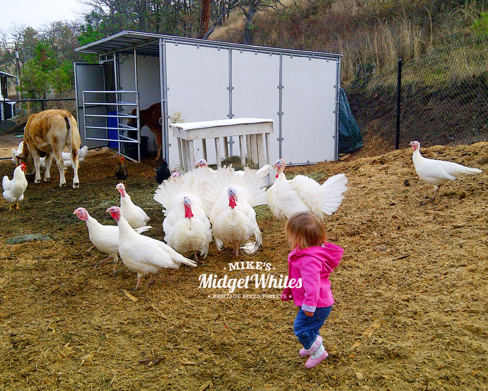 Midget-White-Turkeys-for-Urban-and-Rural-Homesteads.jpg