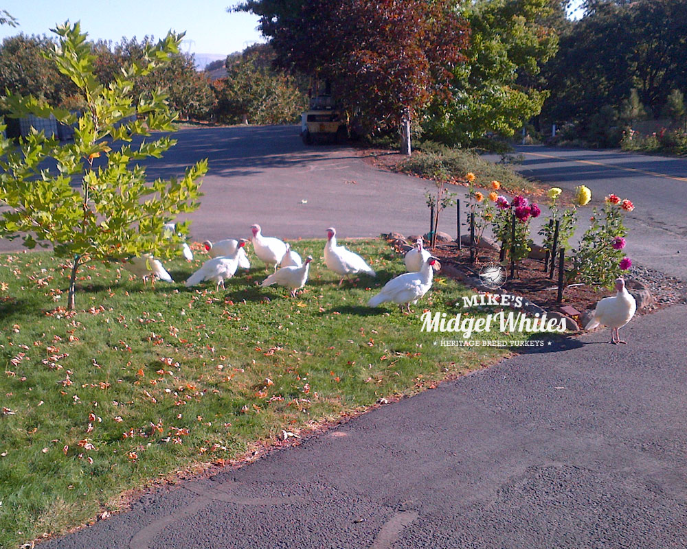 Midget-White-Turkey-Flock-in-Driveway-Homestead.jpg