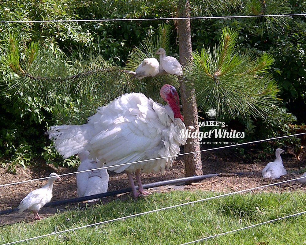 Midget-White-Turkey-Breeder-Family.jpg