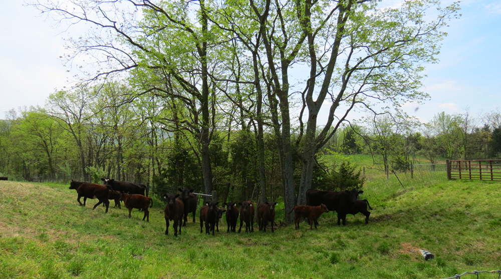 Cows near riparian tree buffer