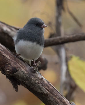 Dark-eyed Junco. Photo by Nicole Hamilton.