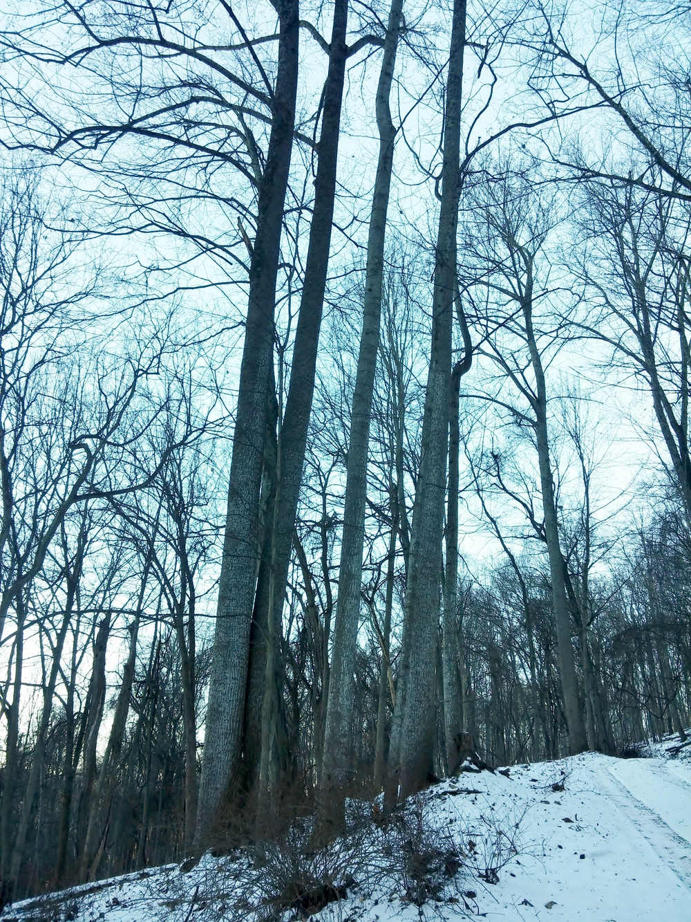 photo essay a walk in the winter woods conservancy bark twigs and overall shape provide clues to the type of tree you are