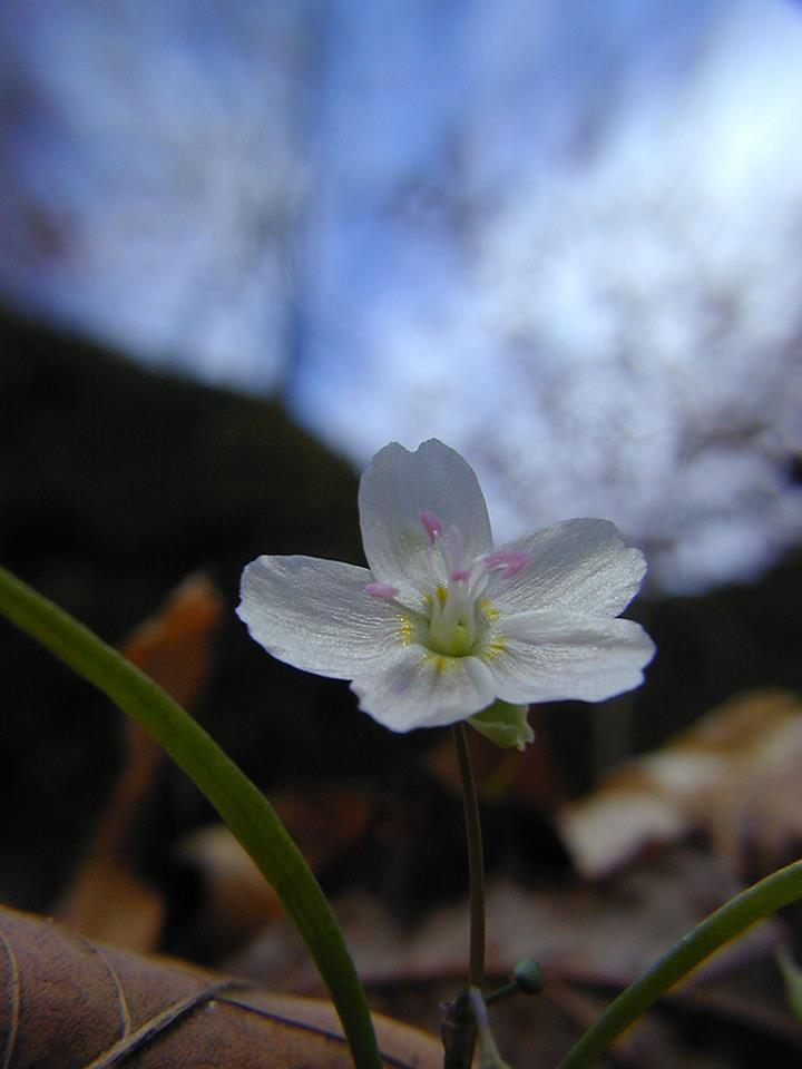Rebecca C spring beauty.jpg