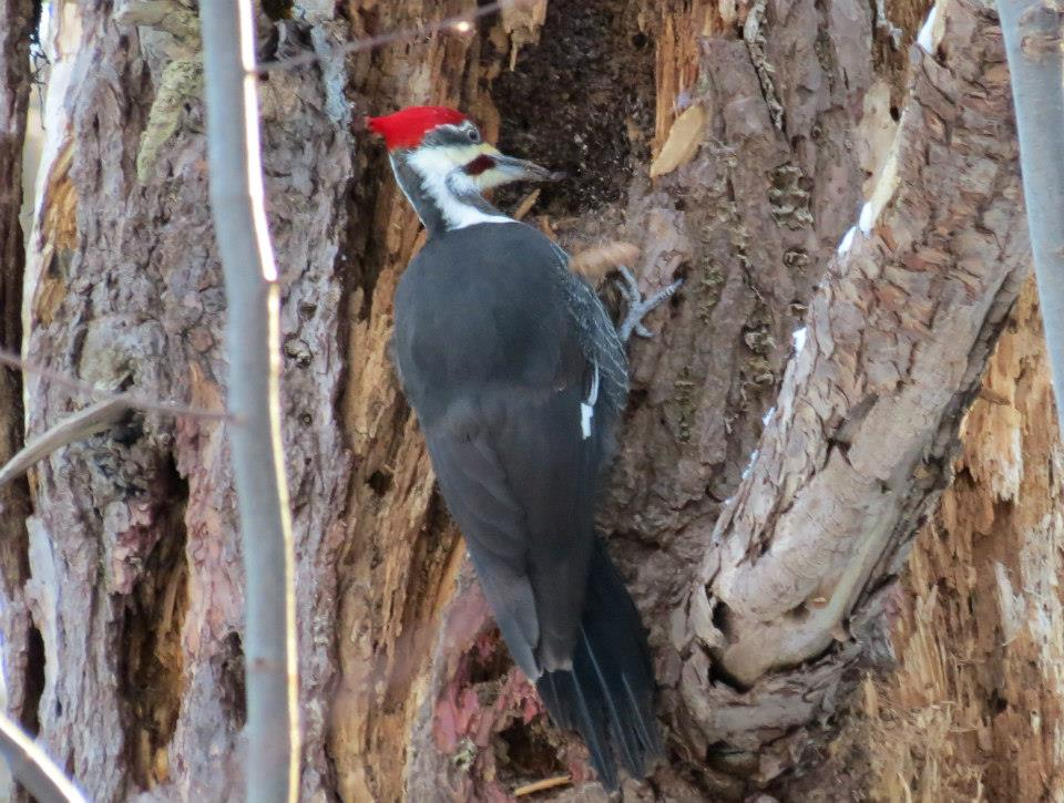 photo essay a walk in the winter woods conservancy if you hear a loud knocking while walking in the woods chances are there s a pileated woodpecker nearby this woodpecker is the largest in our area and is