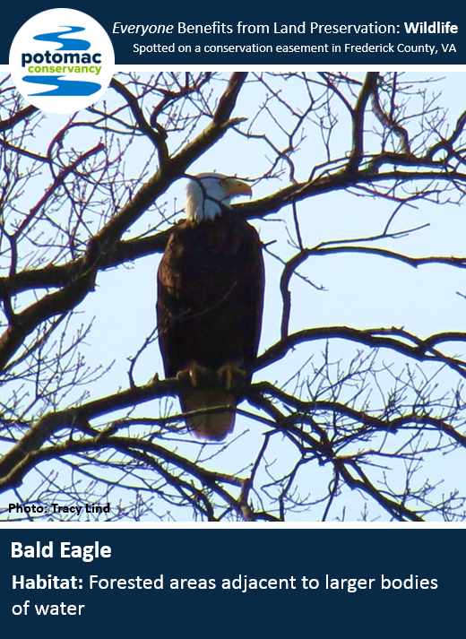 bald eagle full.PNG