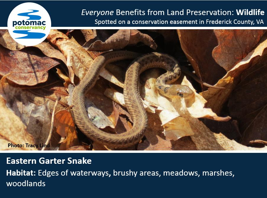 garter snake full.PNG