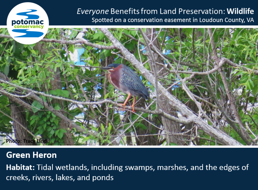 green heron full.PNG