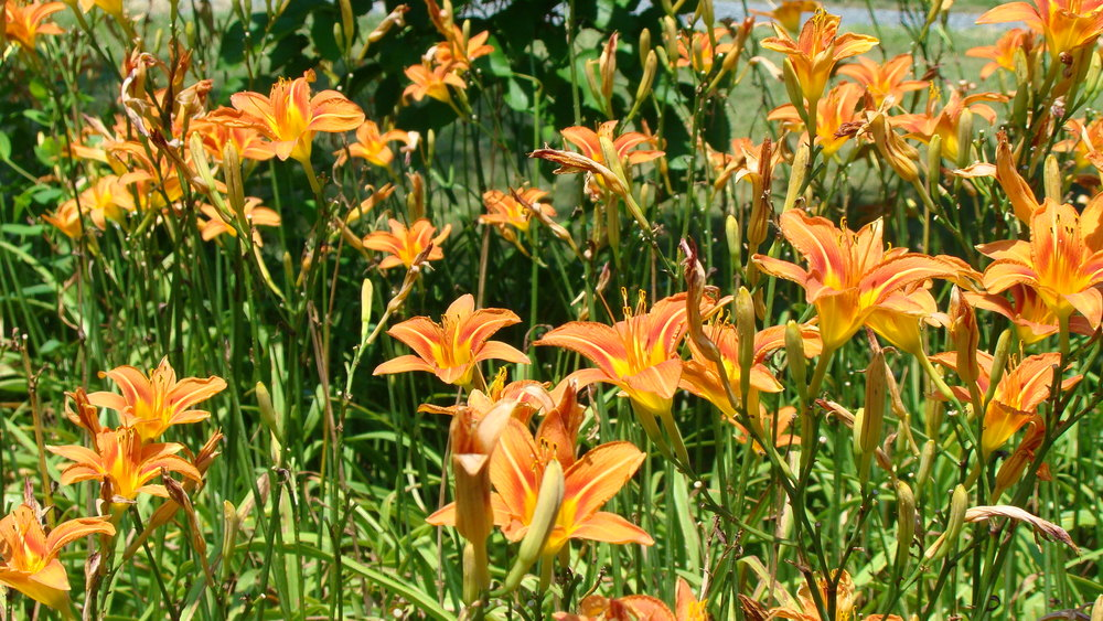 tiger lily invasive plant