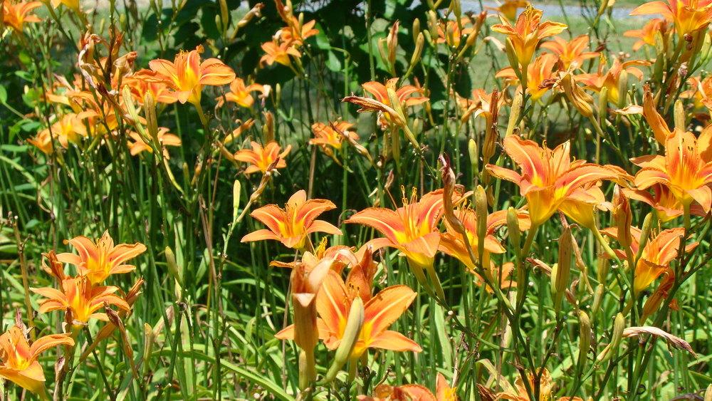 tiger lily invasive plant