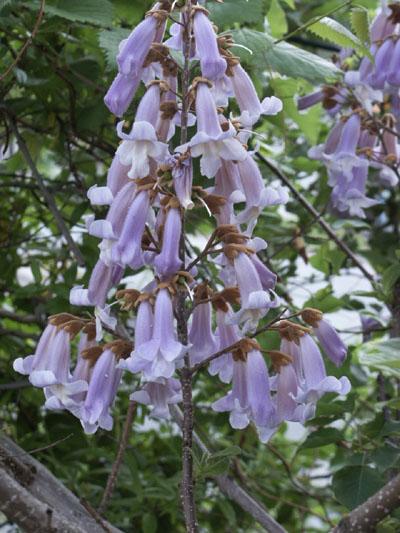 paulowniaflower.JPG