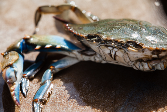 chesapeake bay potomac blue crab