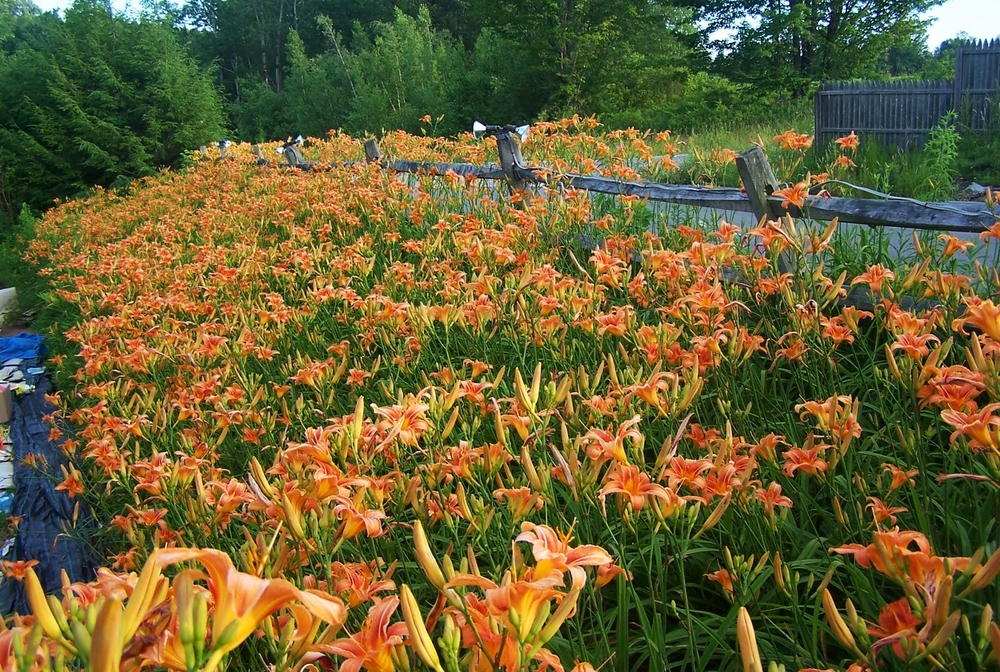 invasive plants potomac river
