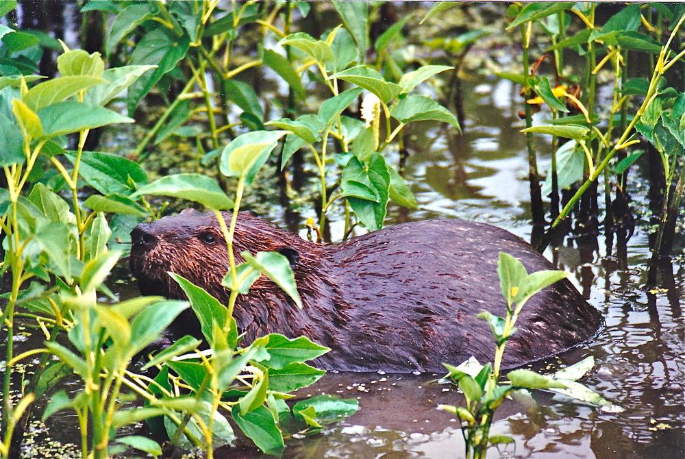 Beaver potomac river