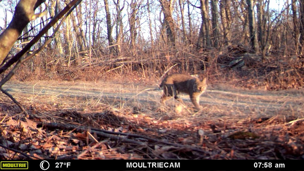 White Horse Mountain West Virginia bobcat