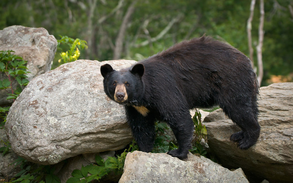 White Horse Mountain is home to black bears, bobcats, bald eagles, bluebirds, and many more local critters!