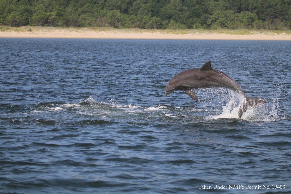 Potomac River dolphin