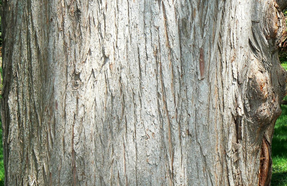 Bald_Cypress_(Taxodium_distichum)_bark_detail.jpg