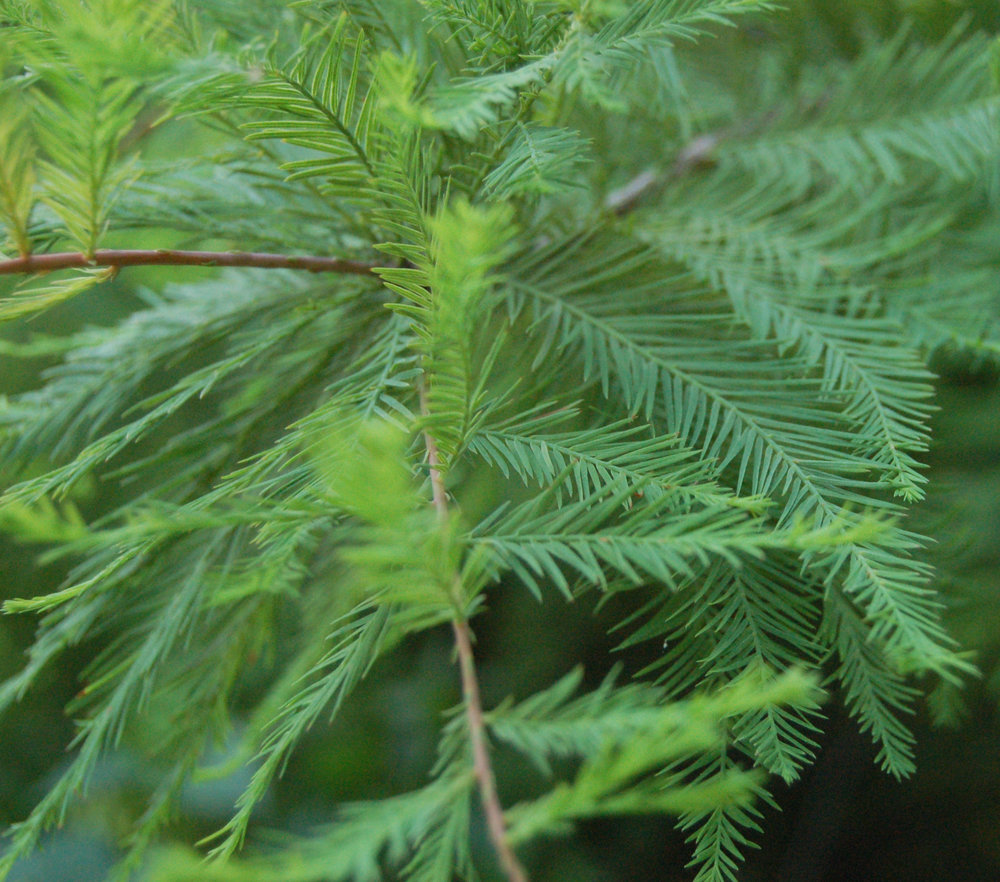 Bald_Cypress_Leaves_2264px.jpg