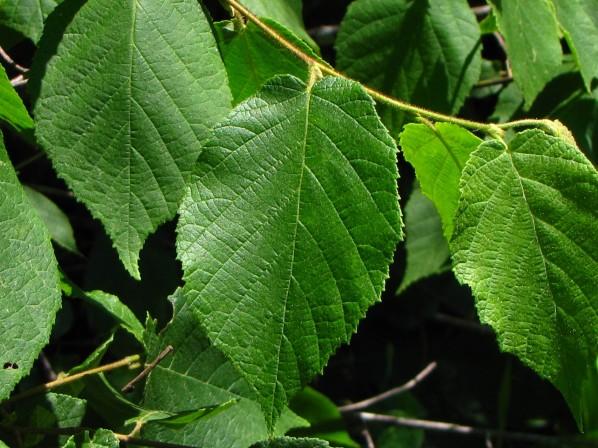Corylus_americana_-_leaf_resized.JPG