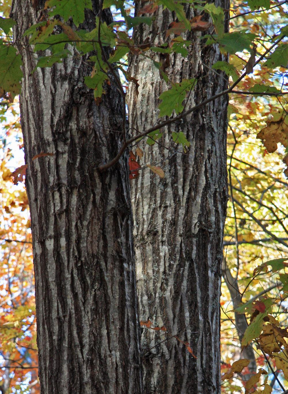 Quercus_rubra_N_red_oak_bark.jpg